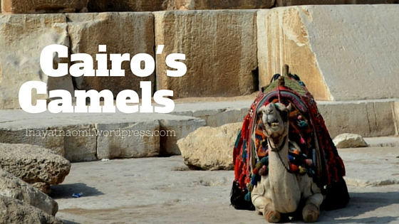 Cairo's Camels